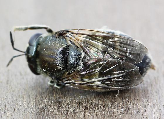 Scale like insect on dead wood, this fly emerged - Microdon - female