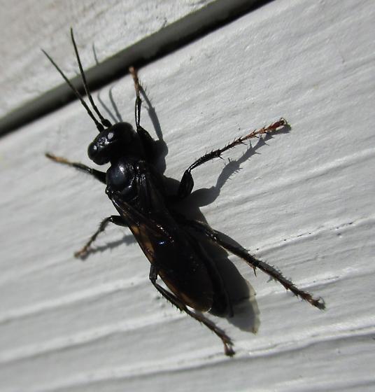 Large Hunting Wasp