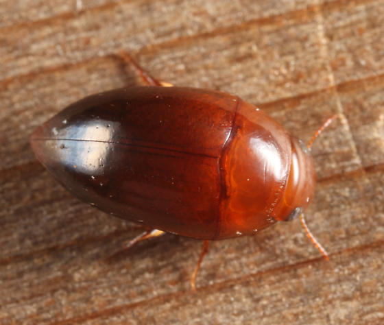 Burrowing Water Beetle - Hydrocanthus iricolor - female