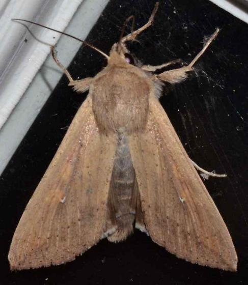 Moth - Mythimna unipuncta