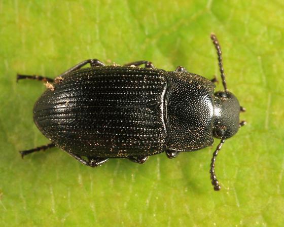Darkling Beetle - Blapstinus moestus