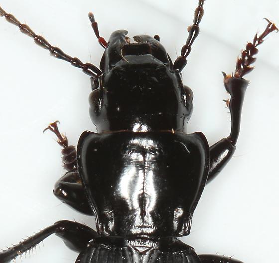 giant black ground beetle - Pterostichus lama - male