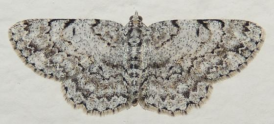 Gray sp? - Protoboarmia porcelaria - female