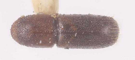 Bark Beetle sp3 - Gnathotrichus pilosus