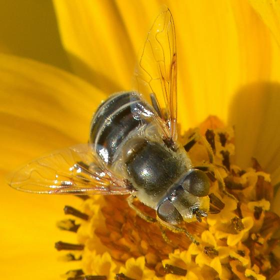 bee fly at Yates 2 - Eristalis stipator