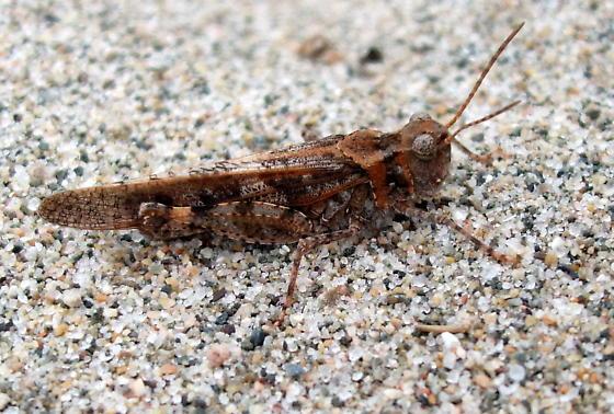 Acrididae - Trimerotropis huroniana - male