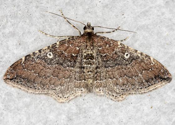 The Gem - Orthonama obstipata - female