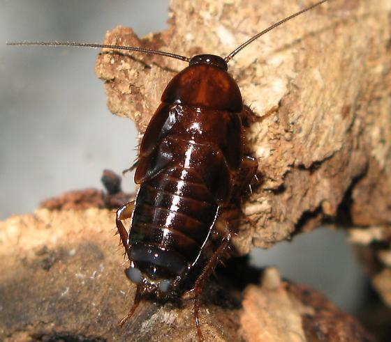 Wood roach nymphs I think - Parcoblatta virginica
