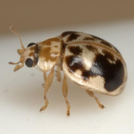 Psyllobora renifer Casey - Psyllobora renifer