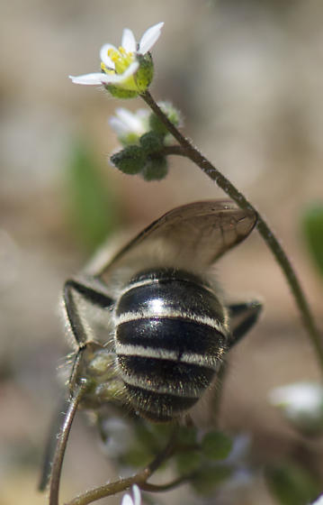 Colletes inaequalis - male