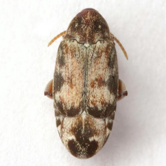 Mimosestes protractus (Horn) - Mimosestes protractus