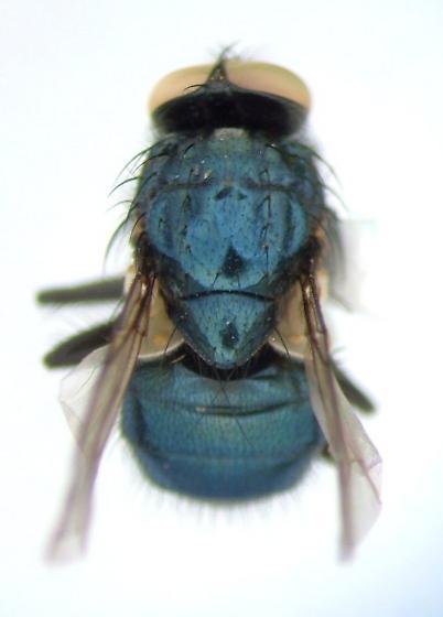 Eudasyphora - Eudasyphora cyanicolor - male