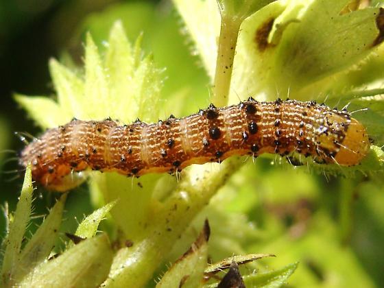 Tobacco Budworm? - Chloridea virescens
