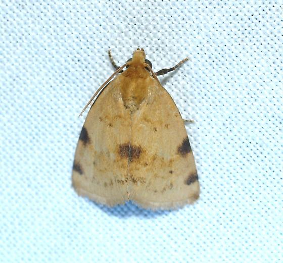 Moth - Azenia edentata