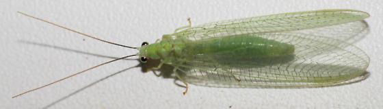Green lacewing - Chrysopa nigricornis