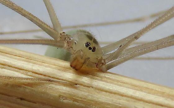 Green Cellar spider - Pholcus phalangioides - female
