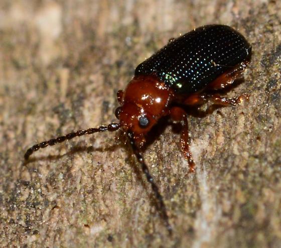 Iridescent Flea Beetle? - Trichaltica scabricula