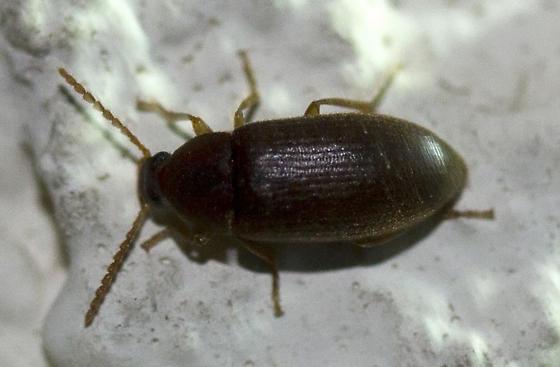 Beetle - Hymenorus