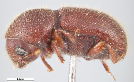 Coccotrypes carpophagus