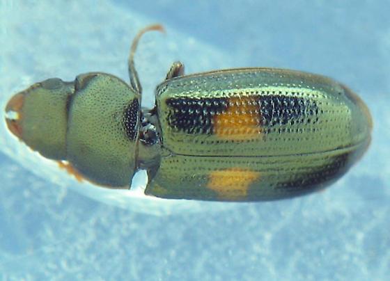 orange-spotted bark-gnawing beetle - Tenebroides bimaculatus