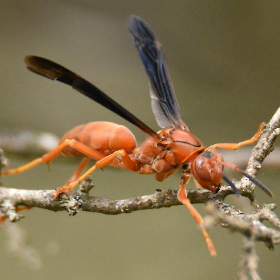 Red paper wasp, Polistes sp. - Polistes