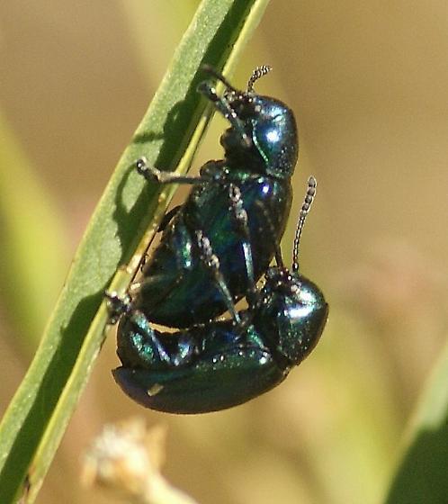 blue-green beetles - Chrysochus cobaltinus