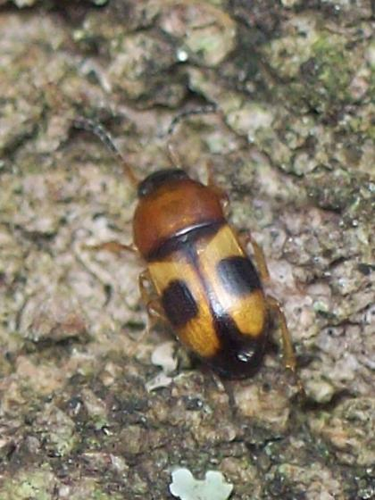What Kind Of Beetle? - Poecilocrypticus formicophilus