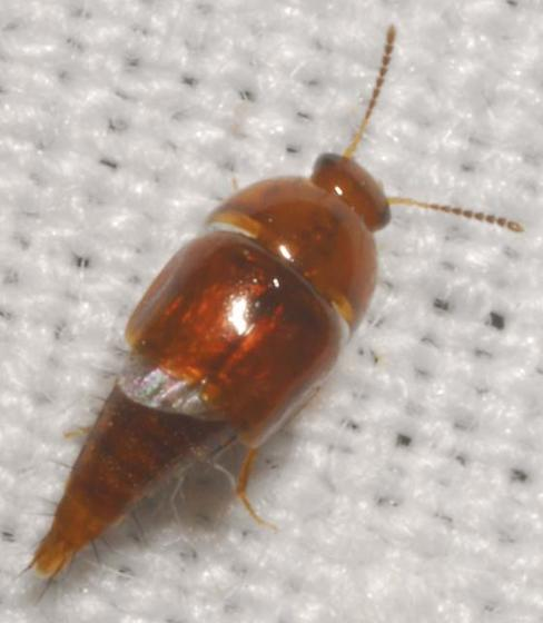 Coproporus sp. - Coproporus rutilus