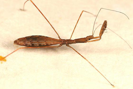 Thread-legged Bug - Barce fraterna - female