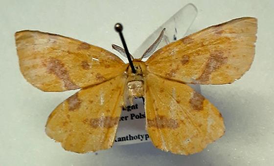 Xanthotype urticaria - False Crocus Geometer Moth - Hodges#6740 - Xanthotype urticaria - male