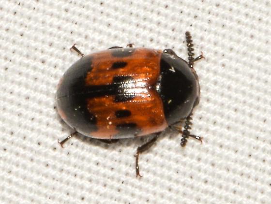 beetle070618a - Diaperis nigronotata
