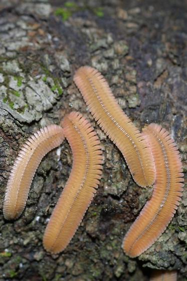 Millipedes - Brachycybe lecontii