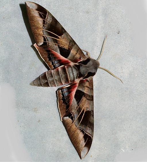 Sphinx 3 - Eumorpha typhon