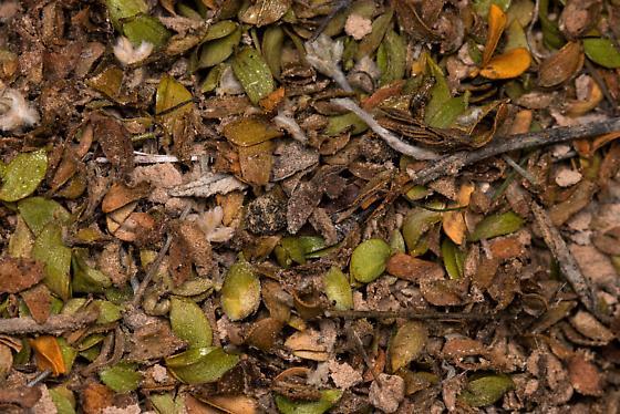 Nest entrance of Acromyrmex versicolor? - Acromyrmex versicolor