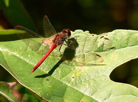 Autmun Meadowhawk - Sympetrum vicinum - male