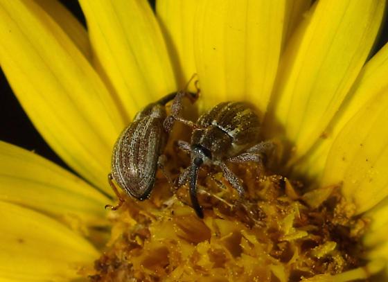 Anthonomus disjunctus LeConte  - Anthonomus disjunctus