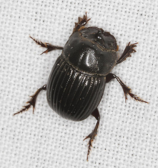 Scarabidae - Copris