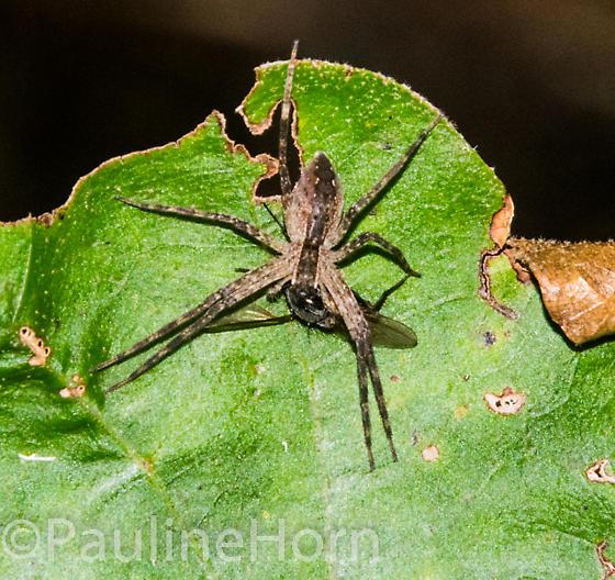 Nursery Web Spider (Pisaurina mira) with prey - Pisaurina mira