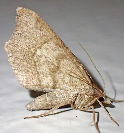 Geometrid? - Macaria marcescaria - female
