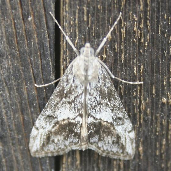 moth - Evergestis subterminalis
