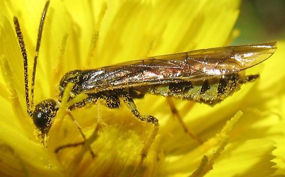 Ichneumonidae? - Calameuta clavata - female