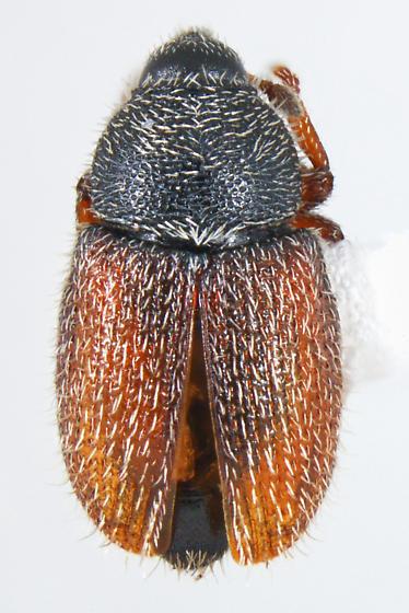 Curc - Mecinus pascuorum