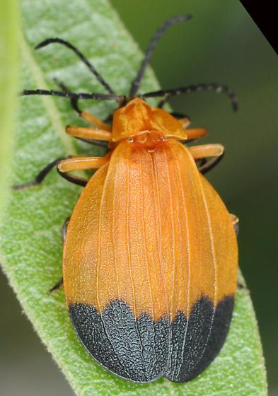 Lycus fernandezi, mating pair - Lycus fernandezi - male - female
