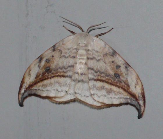 Arched Hooktip - Hodges#6251 - Drepana arcuata