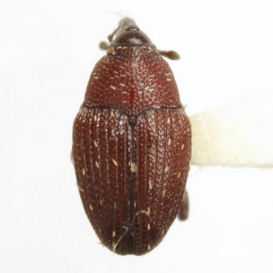 Zygobarella xanthoxyli (Pierce) - Zygobarella xanthoxyli