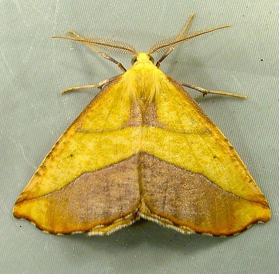 Sicya crocearia 6911 (or possibly S. macularia) - Sicya crocearia - male