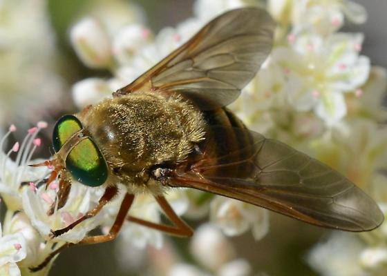 Green Eyed Golden Fly - Stonemyia