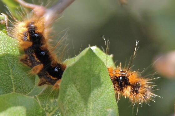 What Type Of Caterpillar Is This Malacosoma Californicum