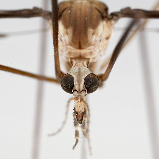 BG1961 E2647 - Tipula sayi - female