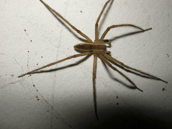 Wolf or Grass Spider - Pisaurina mira